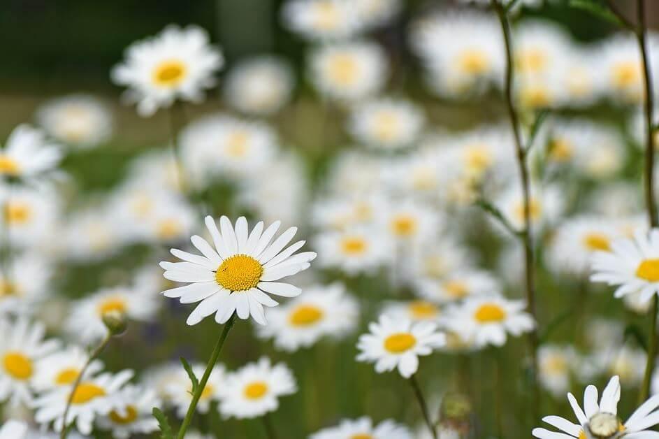 Cvetovi bele rade